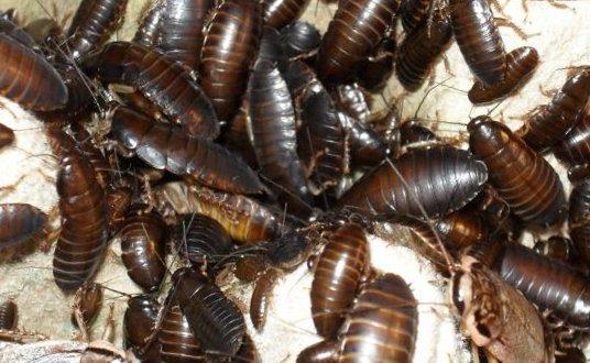 Таракан - к чему снятся тараканы