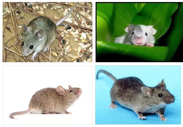 Сон - мышь серая
