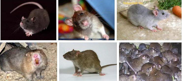 К чему снится крыса - грозное животное
