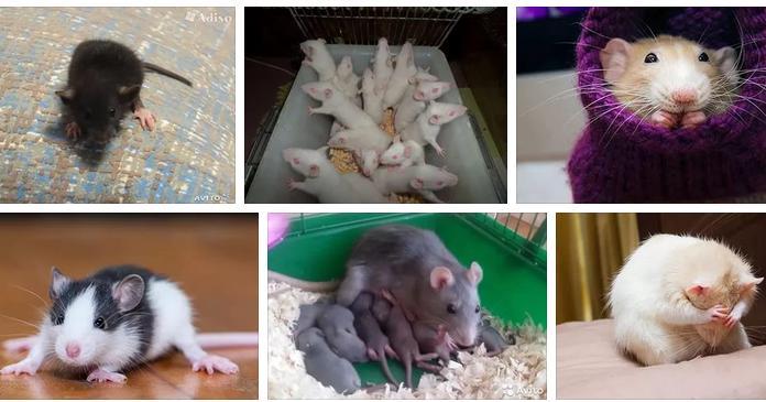 Крысята приснились - сонник