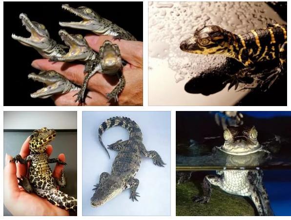 prisnilsya_malenkiy_krokodil