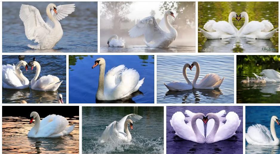 Приснились белые лебеди - толкование сна по соннику