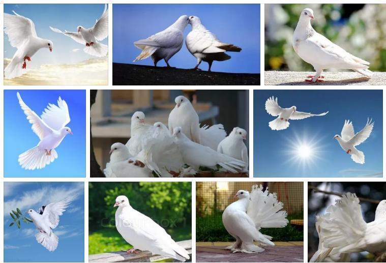 Приснился белый голубь - толкование сна по соннику