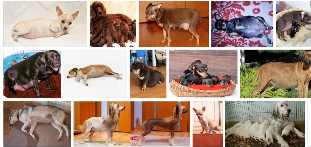 Приснилась беременная собака - толкование сна по сонникам