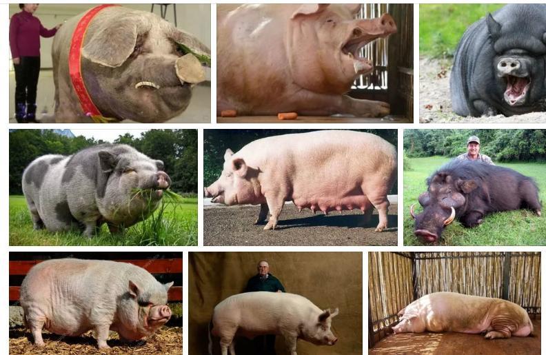 Приснились большие свиньи - толкование сна по сонникам