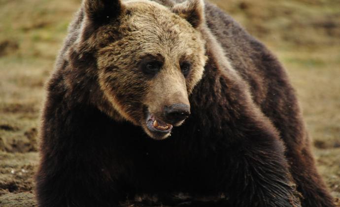 Приснился бурый медведь - толкование сна по сонникам