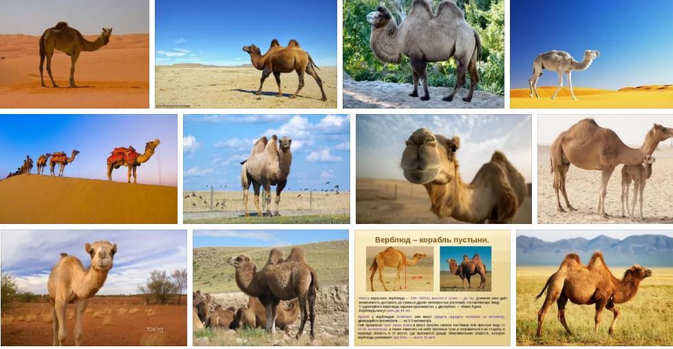 Приснился верблюд - толкование сна по сонникам