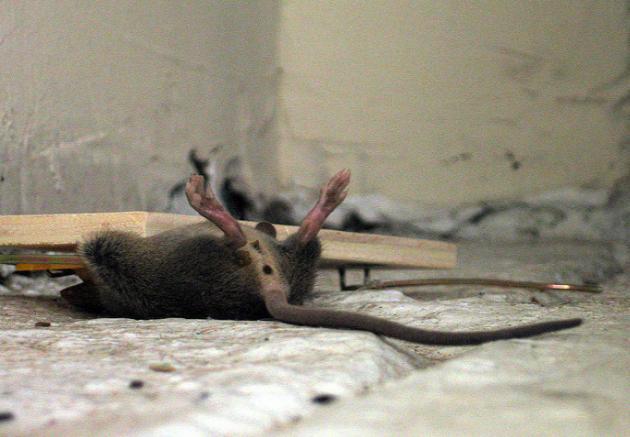 Дохлые мыши - толкование сна по сонникам