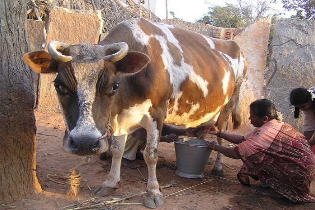 Если приснилось доить корову – толкование сна по сонникам