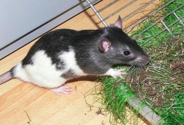 Домашняя крыса - толкование сна по сонникам