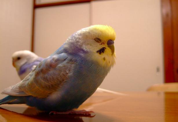 Приснился попугай волнистый - толкование сна по сонникам