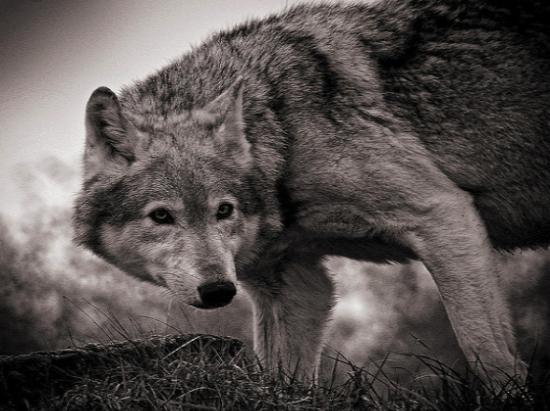 Приснилась волчица - толкование сна по сонникам