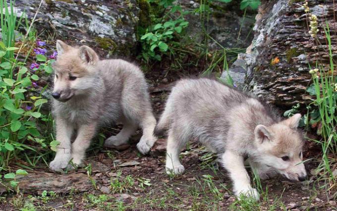 Приснился волчонок - толкование сна по сонникам