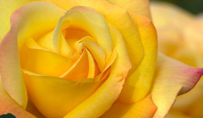 Желтые розы – толкование сна по сонникам