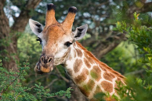 Жираф - толкование сна по сонникам