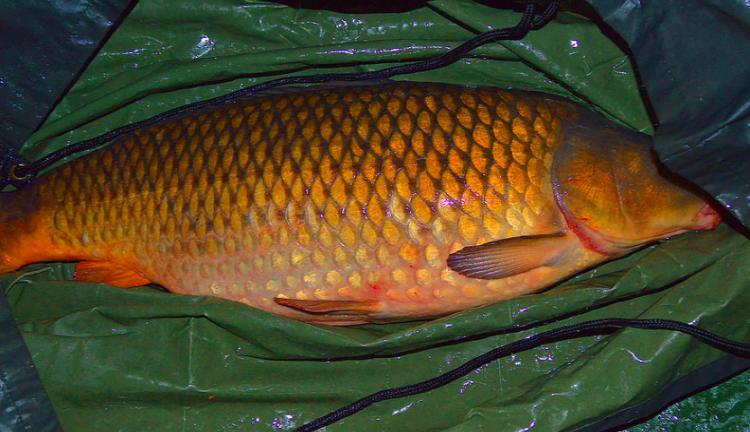 Живая рыба - толкование сна по сонникам