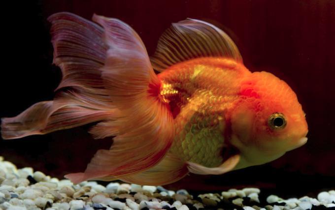 Золотая рыбка – толкование сна по сонникам